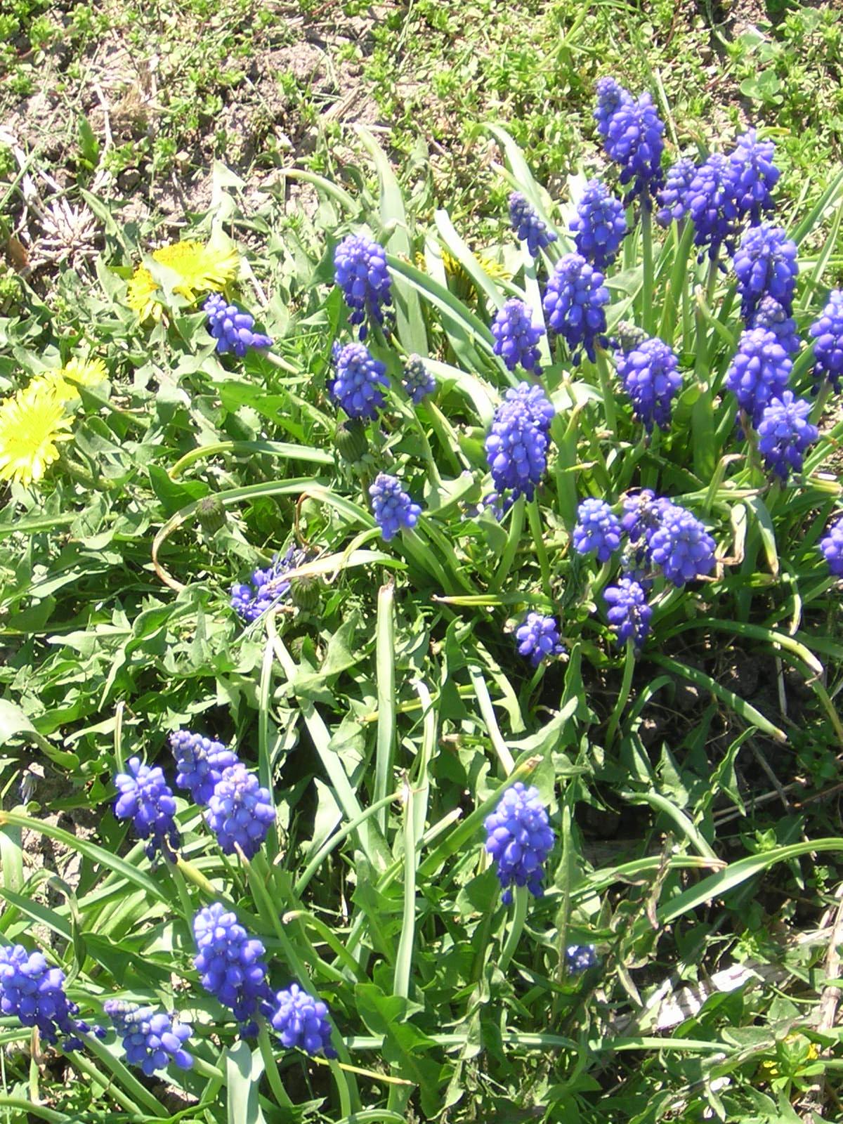 Name:  Blueflowersspring.JPG Views: 238 Size:  454.9 KB