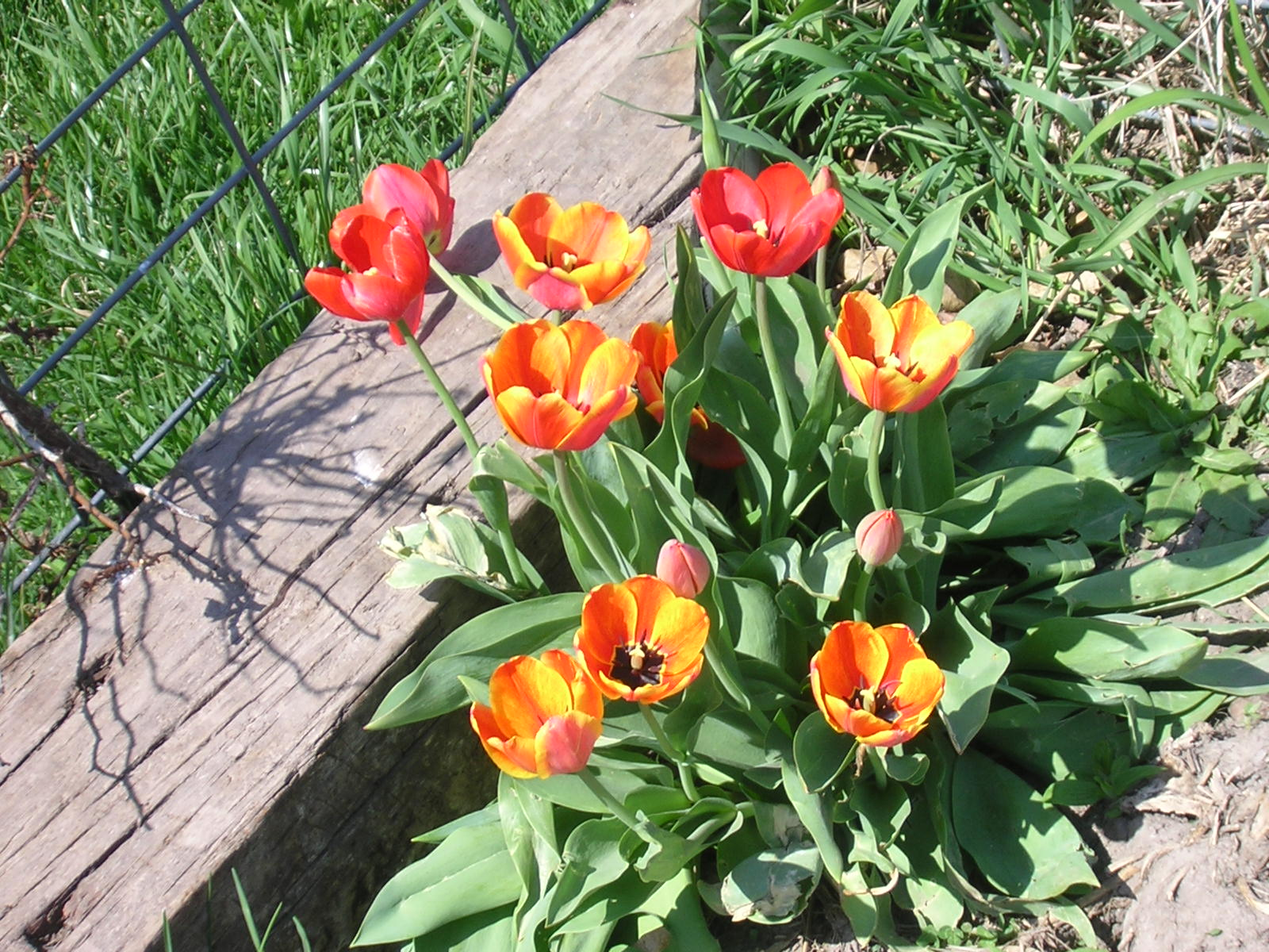 Name:  Tulip,orange, p3.JPG Views: 43 Size:  428.4 KB
