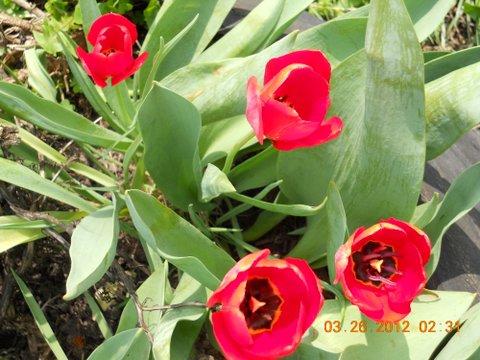 Name:  Tulip, Red.JPG Views: 49 Size:  54.5 KB