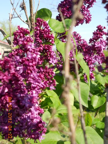 Name:  Lilac, Red bush.JPG Views: 35 Size:  70.6 KB