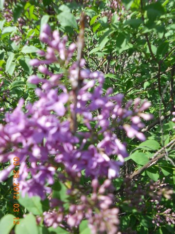 Name:  Lilacbloom'12.JPG Views: 32 Size:  69.7 KB