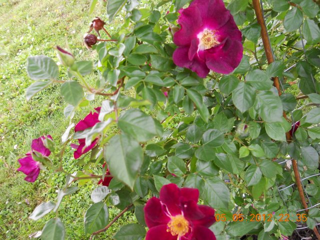 Name:  NightOwlRose2012-001.JPG