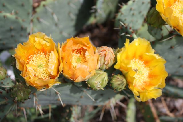 Name:  Prickly Pear #3.jpg