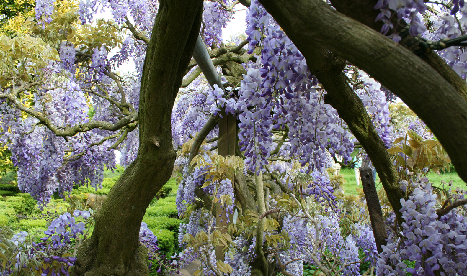 Name:  wisteria3.jpg