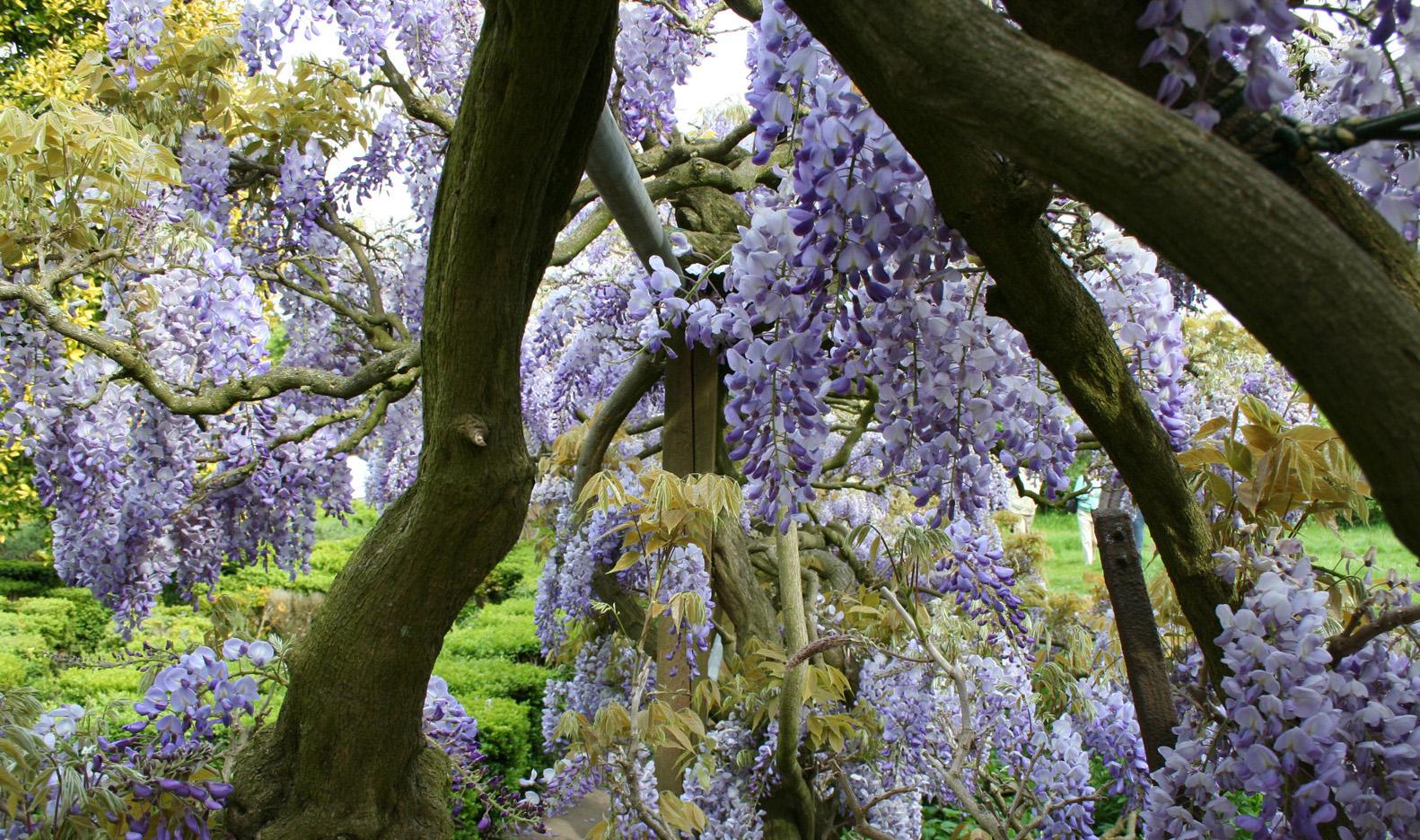 Name:  wisteria3.jpg Views: 176 Size:  822.4 KB