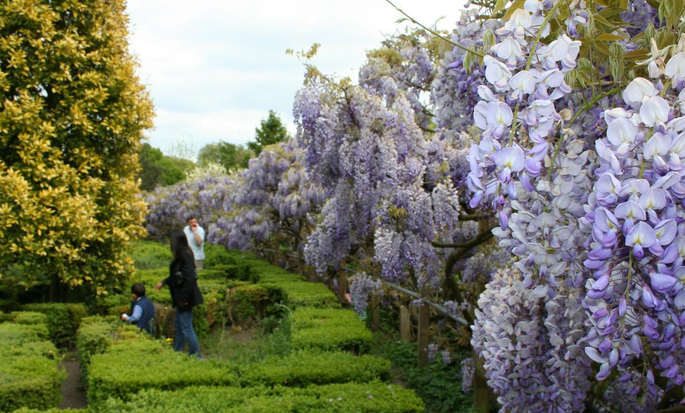 Name:  wisteria.jpg Views: 555 Size:  479.1 KB