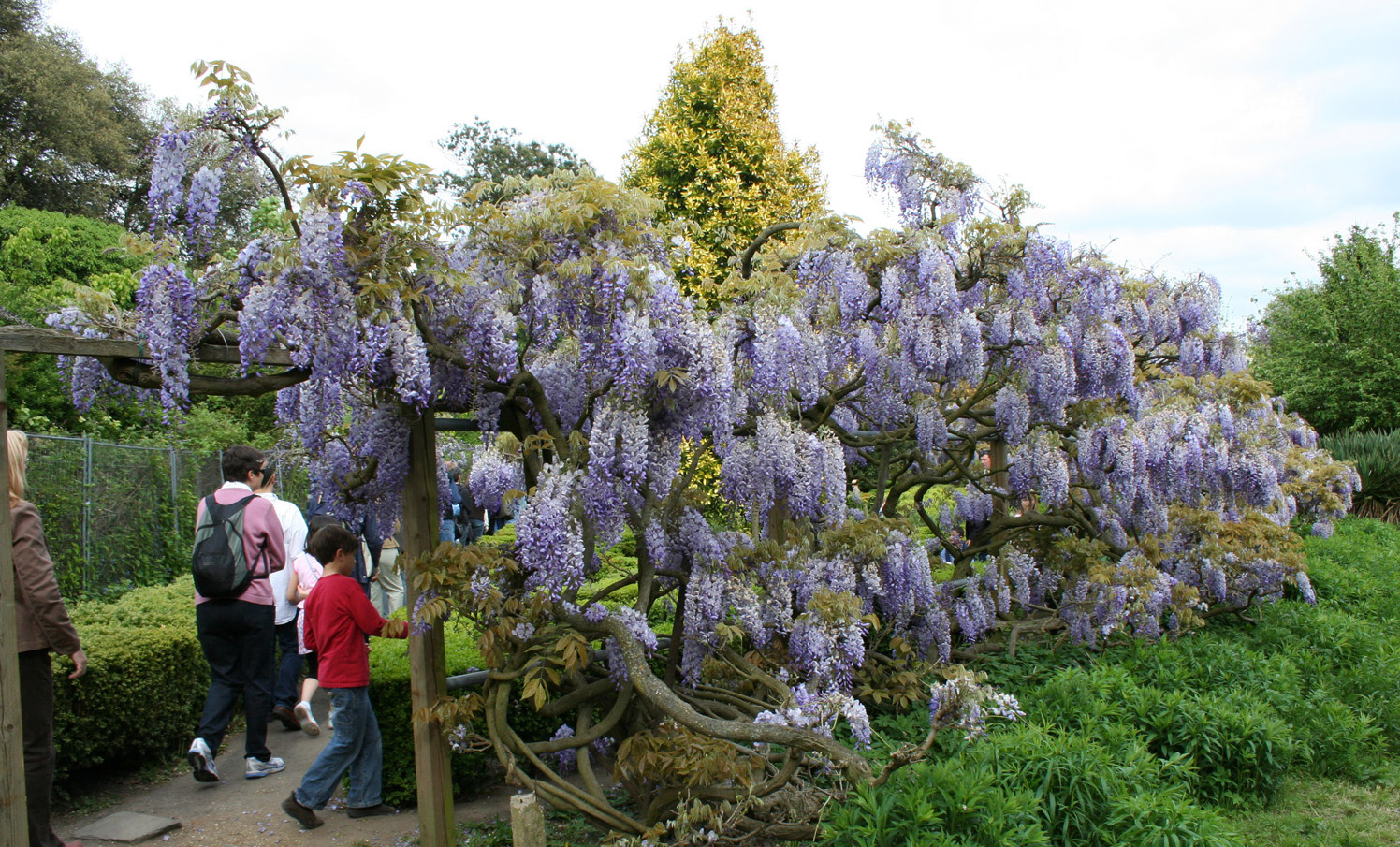 Name:  wisteria2.jpg