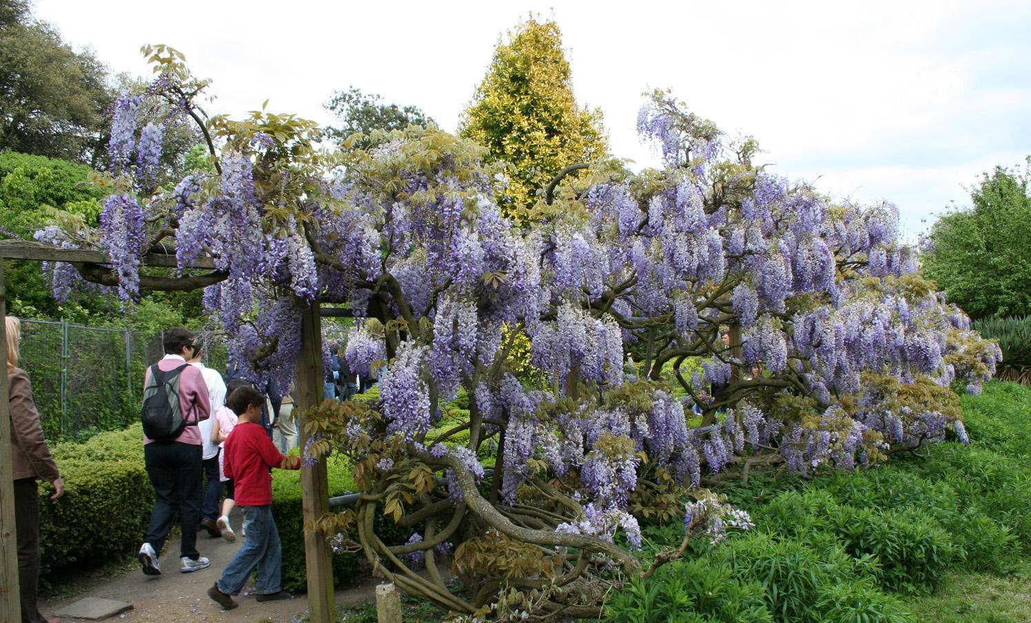 Name:  wisteria2.jpg Views: 216 Size:  729.9 KB