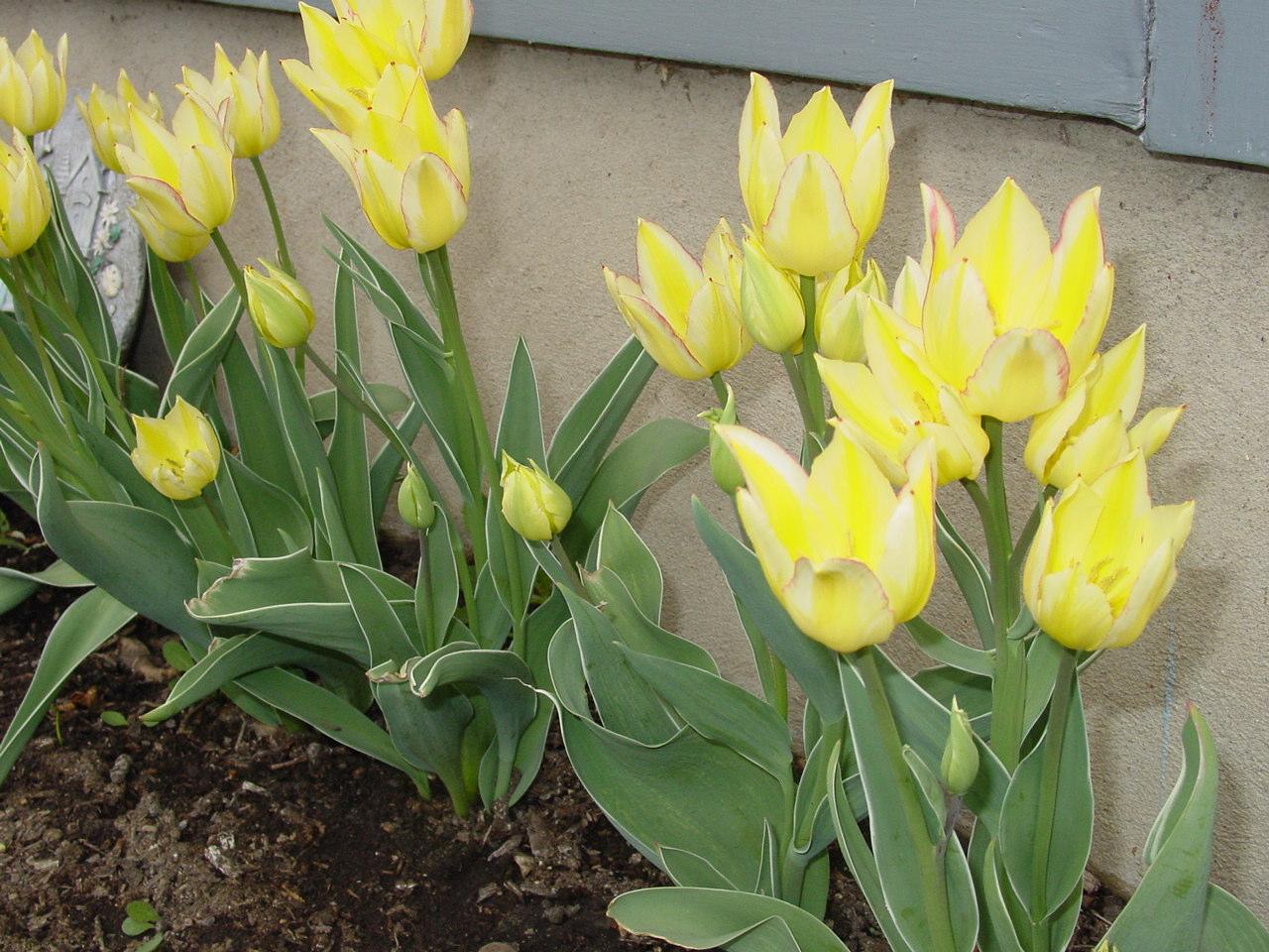 Name:  mystery block, tulips, etc 001.JPG Views: 78 Size:  321.0 KB