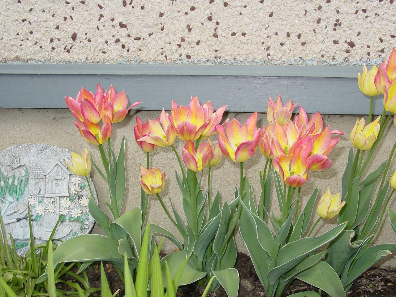 Name:  tulips 001.JPG Views: 86 Size:  332.9 KB