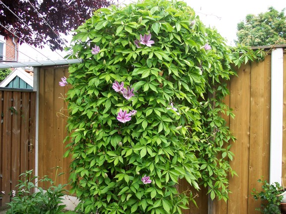 Name:  clematis (576 x 432).jpg