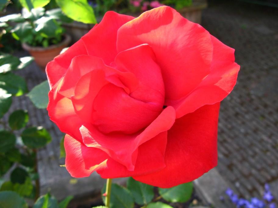 Name:  eerste roos in bloei (912 x 684).jpg Views: 95 Size:  94.4 KB