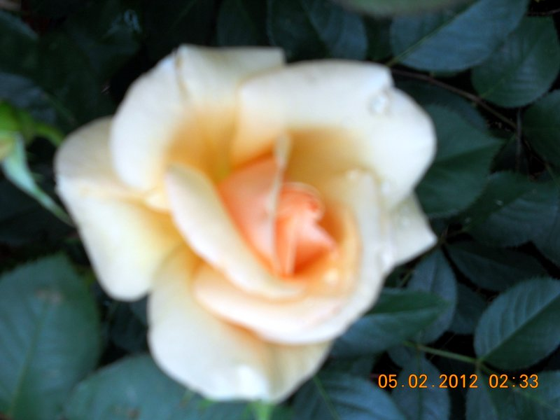 Name:  1-RoseMay2012.JPG Views: 67 Size:  55.1 KB