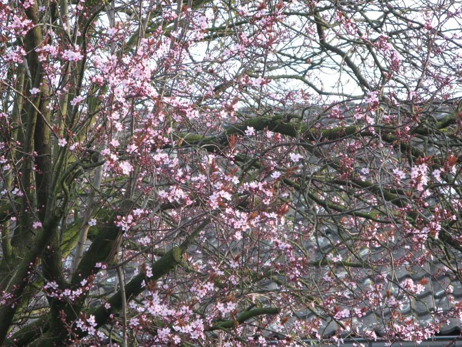 Name:  prunus in bloei (912 x 684).jpg Views: 75 Size:  319.5 KB