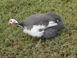Name:  guinea.jpg Views: 234 Size:  14.7 KB