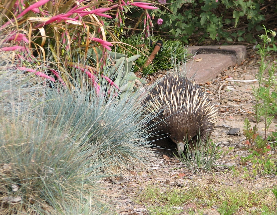 Name:  Echidna.jpg