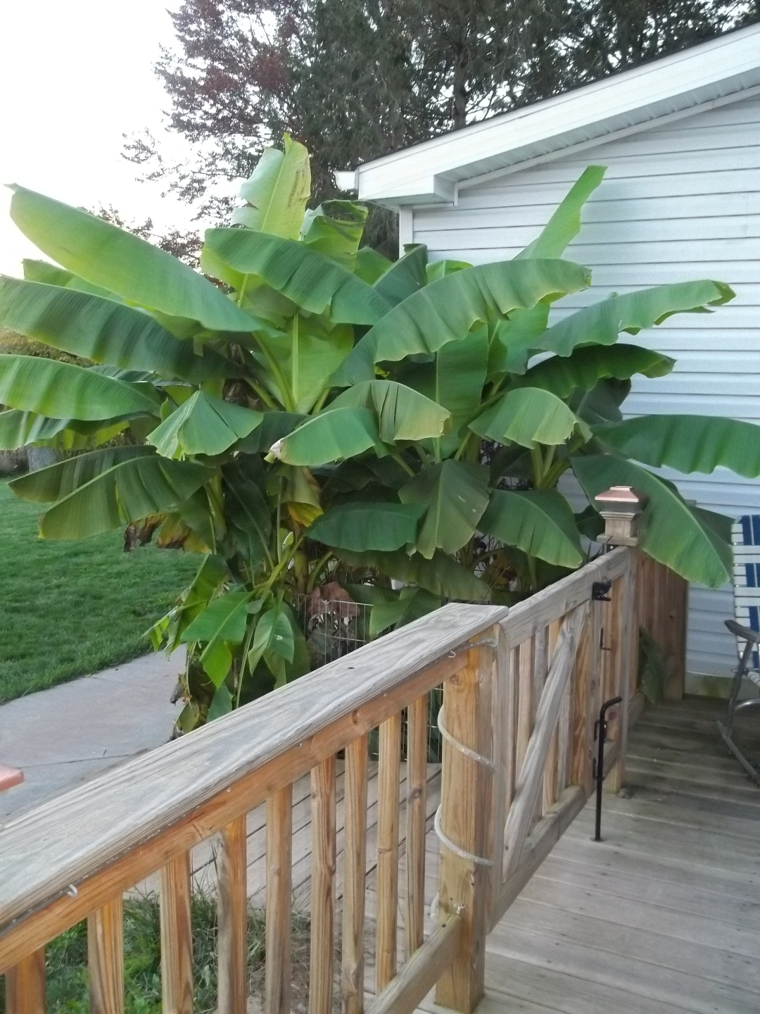 Name:  Banana Trees Oct 2012.jpg