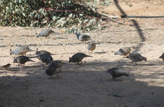 Name:  quail.jpg Views: 111 Size:  69.0 KB