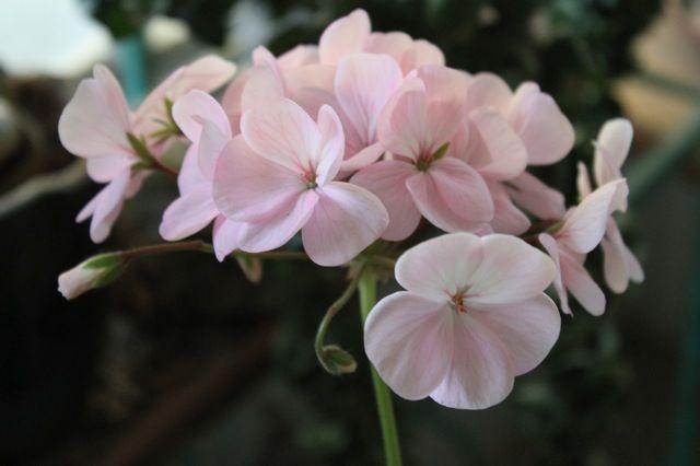 Name:  geranium.jpg Views: 1132 Size:  30.9 KB