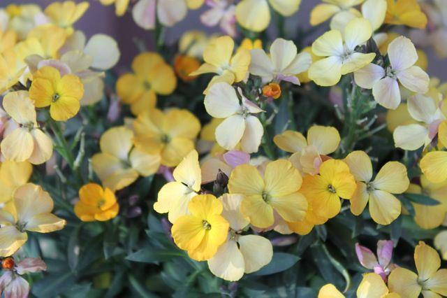 Name:  wallflower.jpg Views: 1093 Size:  50.3 KB
