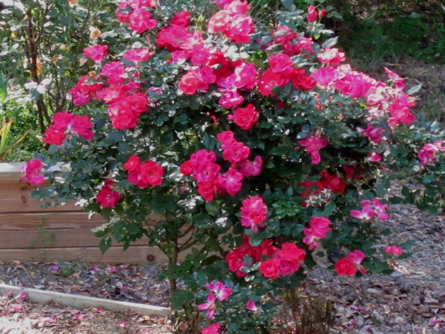 Name:  Red Rose bush.jpg