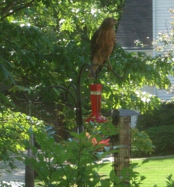 Name:  Hawk.jpg Views: 1764 Size:  255.8 KB