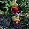 burgandy-yellow-iris.jpg
