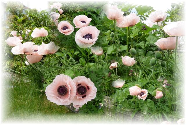 Name:  Poppy Collage 2014 (Small).JPG Views: 1638 Size:  59.9 KB