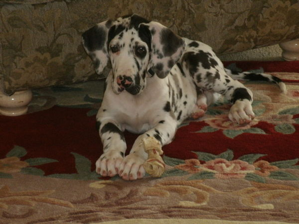 smallest puppy breed pets world