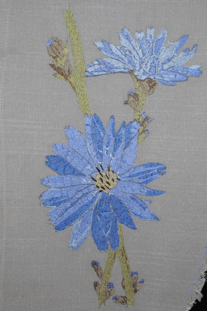 Name:  re sized chicory.JPG