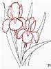 iris-line-drawing7.jpeg
