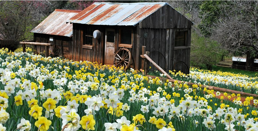 Name:  daffodil-hill-amador-county.jpg