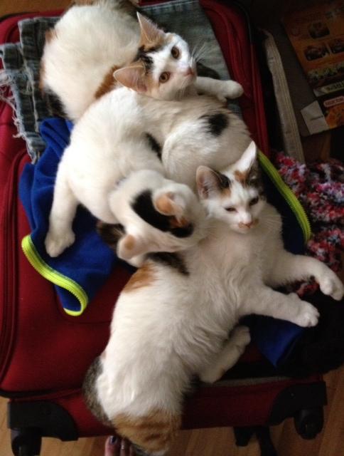 Name:  mitten kittens.jpeg Views: 54 Size:  115.0 KB