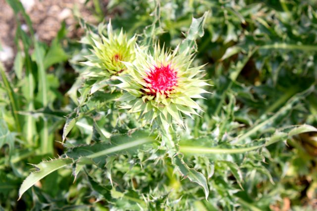 Name:  Thistle #1.jpg