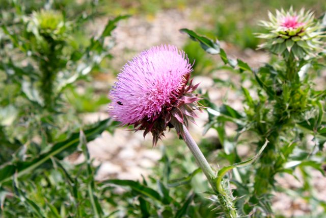 Name:  Thistle #2.jpg