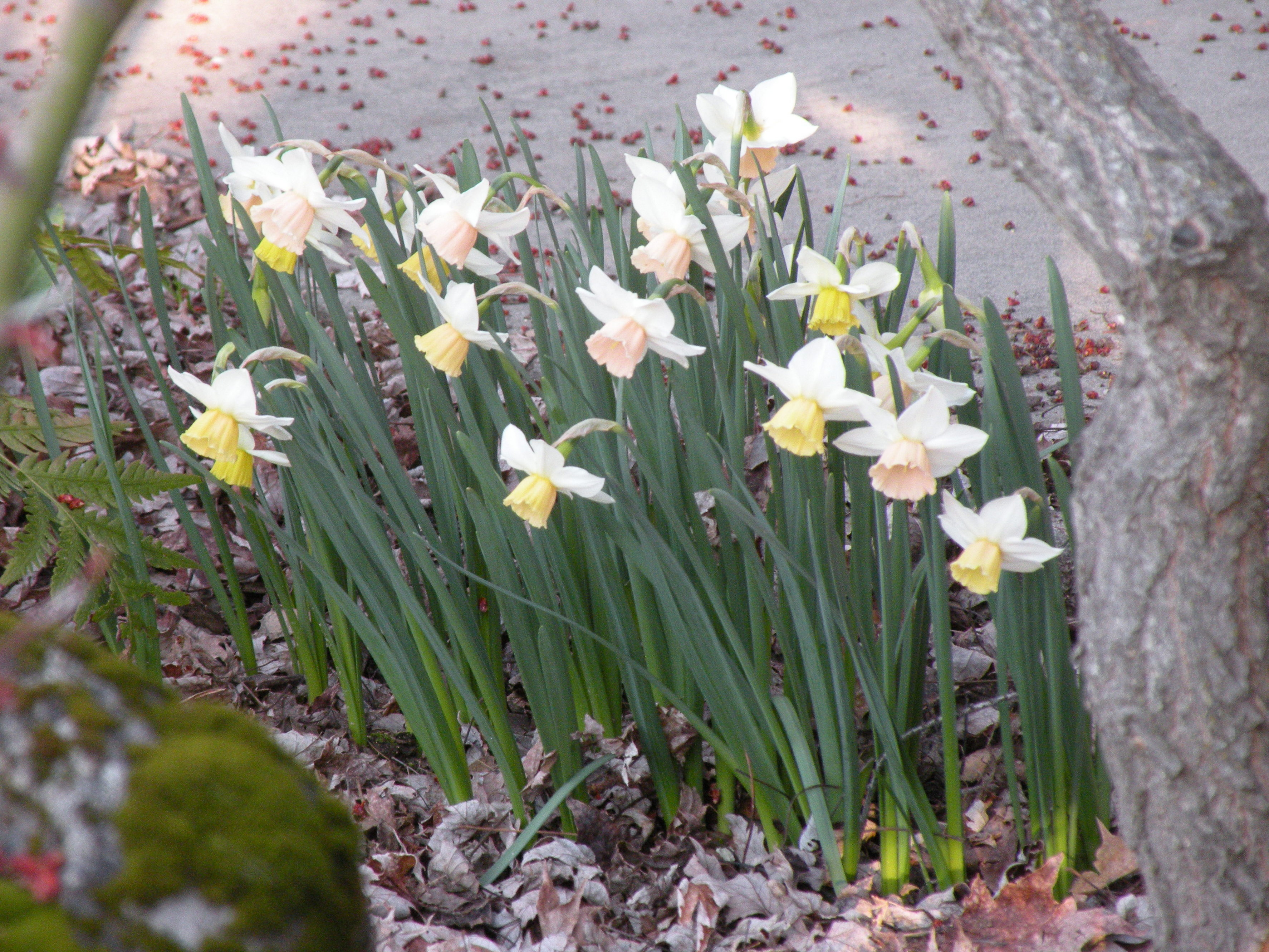 Name:  daffodil 2.jpg