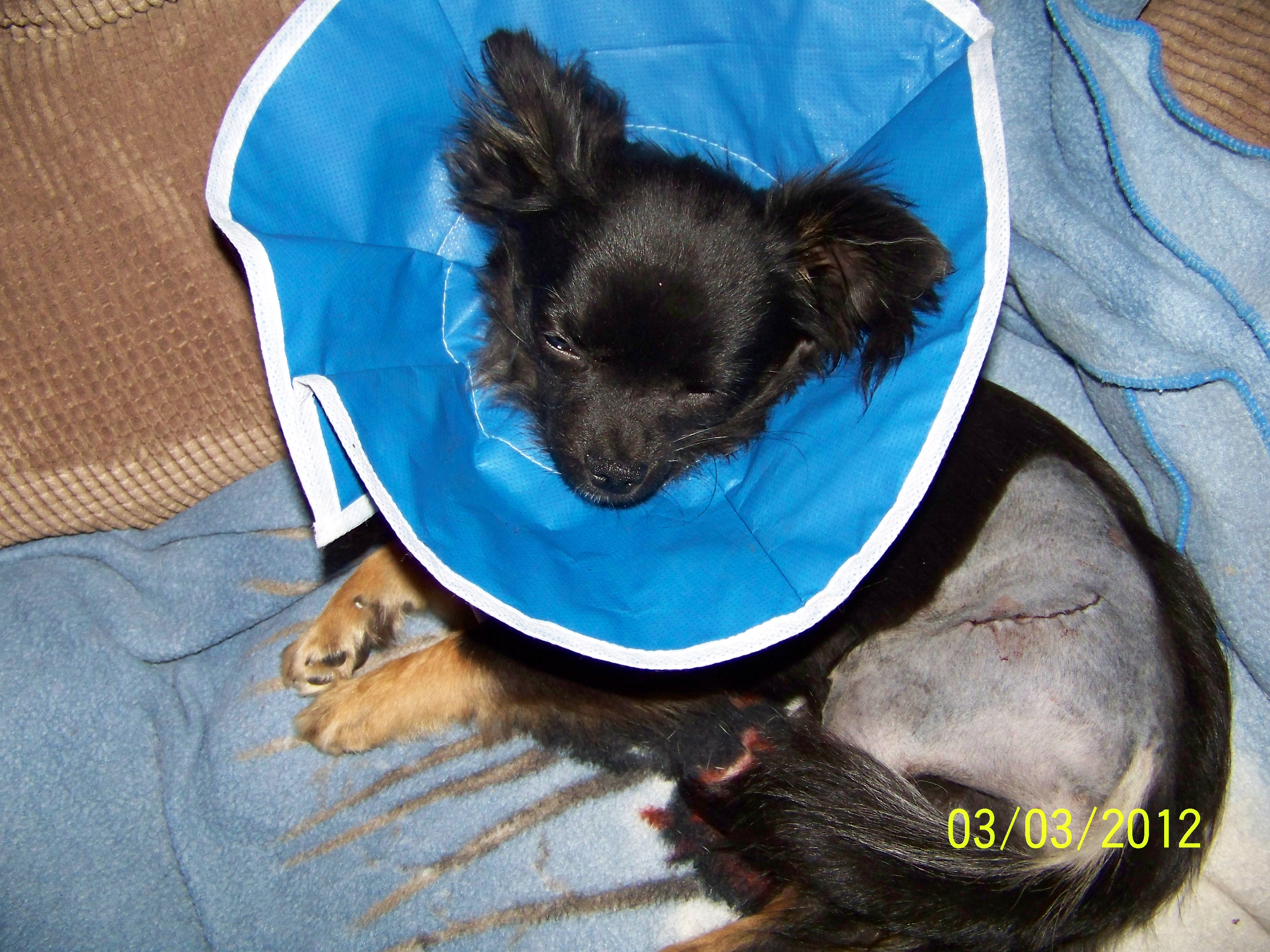 Name:  Mowgli after surgery.JPG
